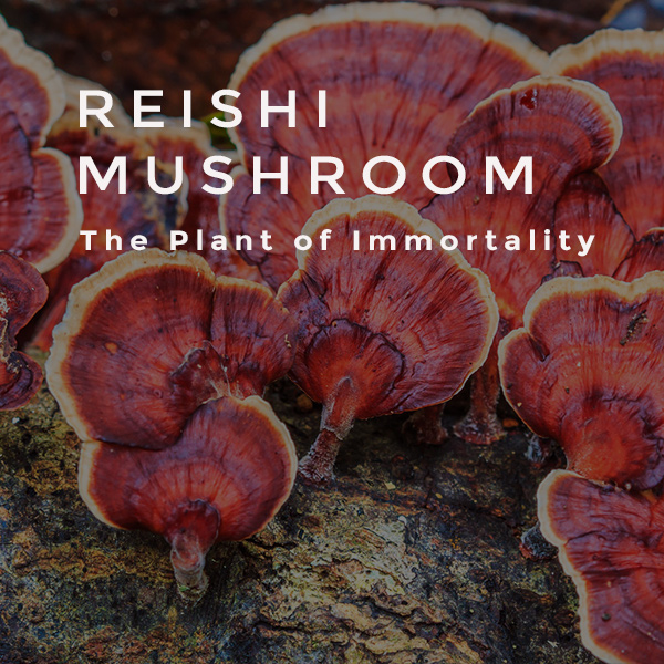 THE MIGHTY REISHI MUSHROOM